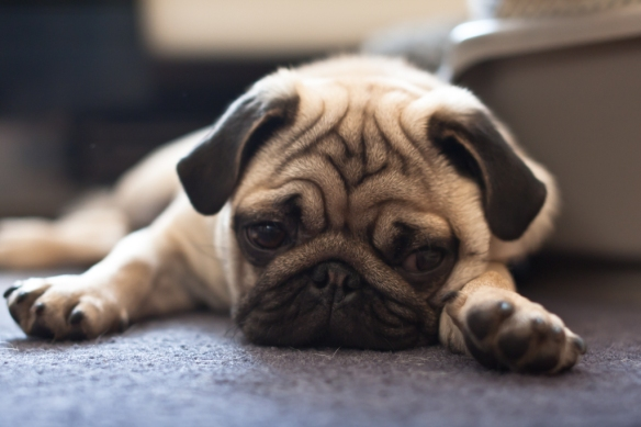 sad_pug_by_xenophex-d3gpywg